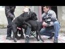 PART 2. Mating Dogs. Вязка Собак. Немецкие Овчарки. Одесса.