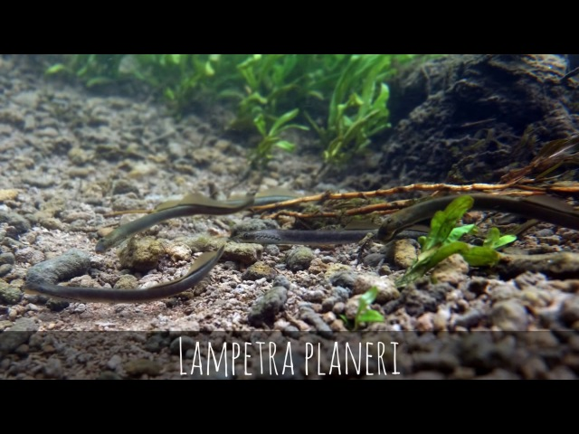 Biotope Lampetra planeri. Shingarka river near Peterhof. Russia Биотоп ручьевой миноги