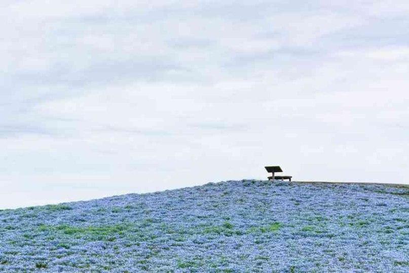 Почувствуйте синюю магию японского приморского парка «Хитачи»   Не случайно парк у моря «Хитачи», который находится в Хитачинака, префектуре Ибараки, Япония, является одним из самых известных туристских направлений.