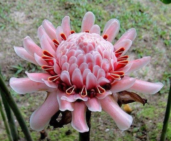 Так цветет имбирь.