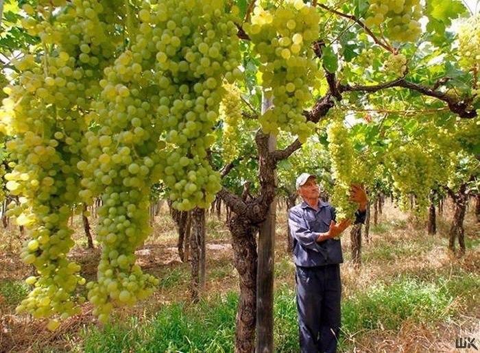 Виноградный лес - с ума сойти!