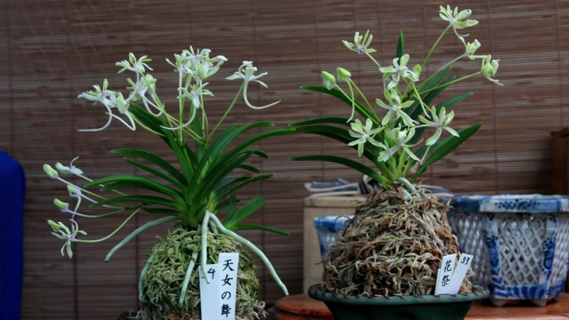Repotting Japanese wind orchids, Neofinetia falcata