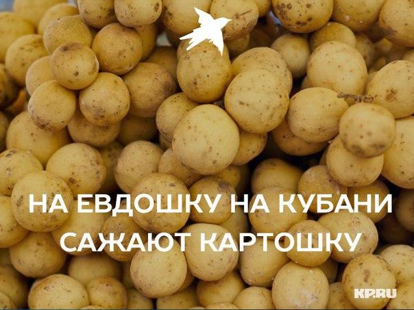 Выращивание картофеля в Краснодарском крае