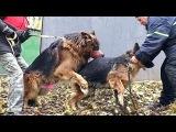 Ждём Щенков! Вязка Дольфа и Дагиры. Mating Dog. Soon the puppies!