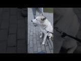 Собачий хор, и странные хозяева 😂 в главной роли хаски: Барс и Юта