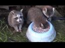 Insatiable raccoon drink milk