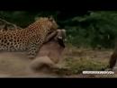 реальная Африка. леопард охотится на бородавочника дикий мир и поведение животных в нем
