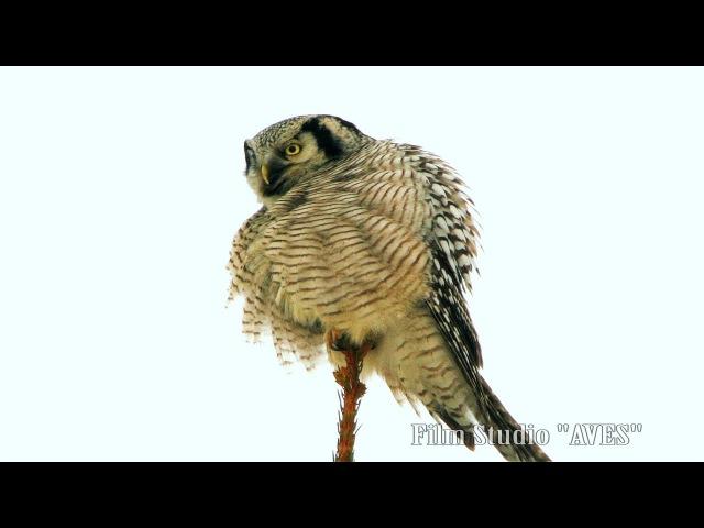 Northern hawk-owl (Surnia ulula). Belarus-2017. Сова ястребиная. Беларусь.