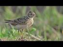 Woodland Birdsong: 1 Hours, Song of the Skylark, Birdsong, Birds Chirping