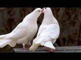 Белые тени - Голубки