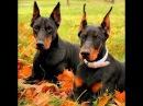 Доберман пинчер, все породы собак, 101 dogs. Введение в собаковедение.