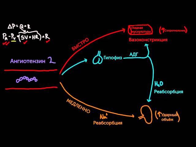 Ангиотензин 2 повышает кровяное давление