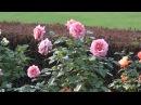Япония.1) Розы сада Синдзюку / Tokyo. Rose garden Shinjuku