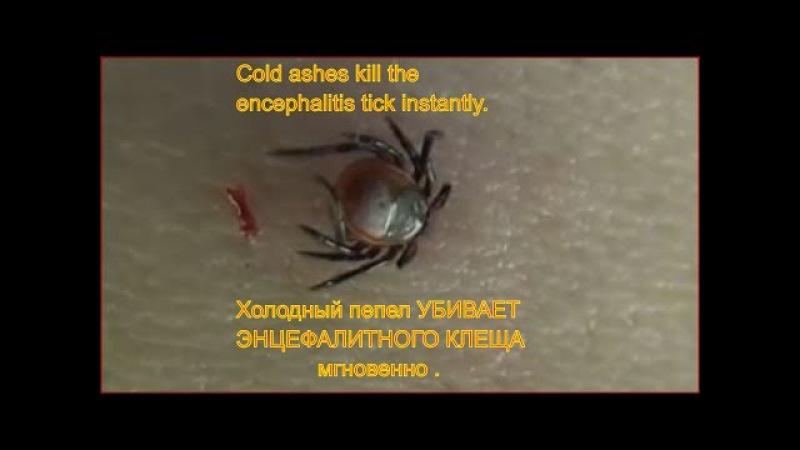 Энцефалитный клещ умирает мгновенно от холодного пепла Клещ умирает Укусил кле ...