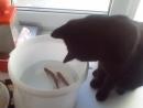 Принесли коту улов теперь рыбачит не отходит