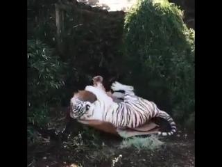 Белый тигр, играющий с картонной коробкой