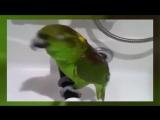 Попугай исполняет Беловежская пуща Прикол
