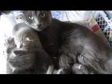 Котята и заботливая мама-кошка.