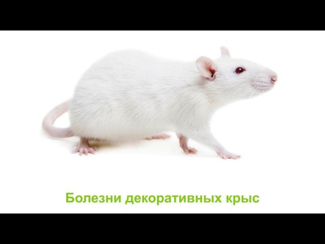 Болезни декоративных крыс. Ветеринарная клиника Био-Вет.