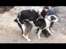 Вязка Собак. Огромные Алабаи. Mating Dog. Central Asian Shepherd. Одесса.