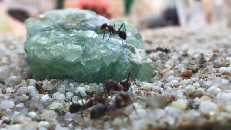 Микромир крупным планом. Болгарские муравьи-бегунки в Тропическом Комплексе Миндо