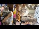 Огромный пушистый кот из Таиланда, покоривший своим нереальным видом!
