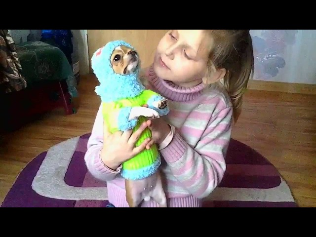 Вязаная кофта для чихуахуа Нюра ❤ Knitted sweater for Chihuahua