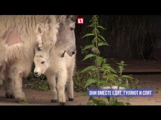 В Московском зоопарке показали детеныша снежных коз