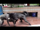 Собачьи бои 18 Кане корсо vs Мастиф Тибетский