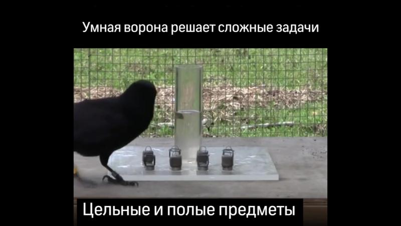 Уровень интеллекта вороны