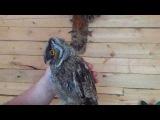 Ушастая сова, совенок смешно чирикает и пищит, когда его гладят