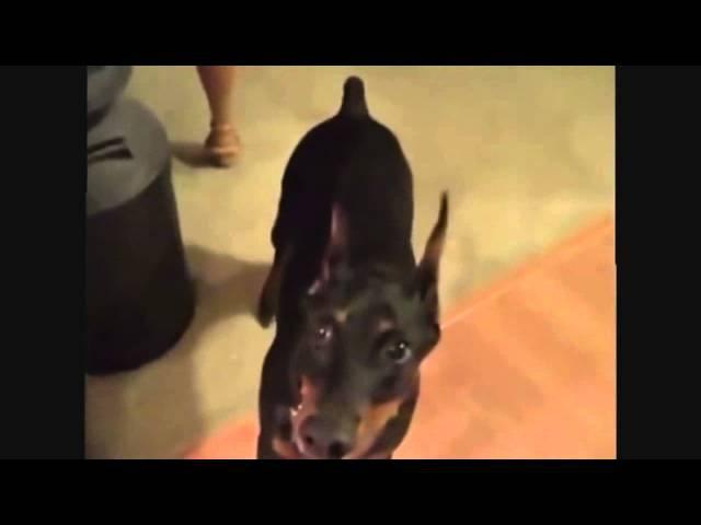 Как собака собирается на дачу
