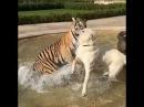 ТИГР ПРОТИВ СОБАКИ АЛАБАЙ - TIGER VS DOG ALABAI