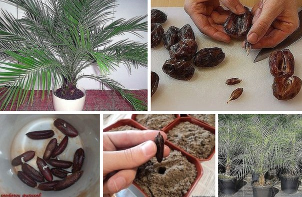Как сажать финик канарский из магазинных семян 6