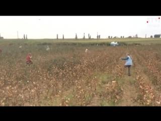 Правозащитная организация Елена Урлаева_ «Хлопок в Узбекистане собирают врачи и учителя»