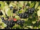 Чем полезна черноплодная рябина и как ее выращивать