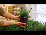 Пошаговая видео-инструкция по пересадке лаванды дома в горшок
