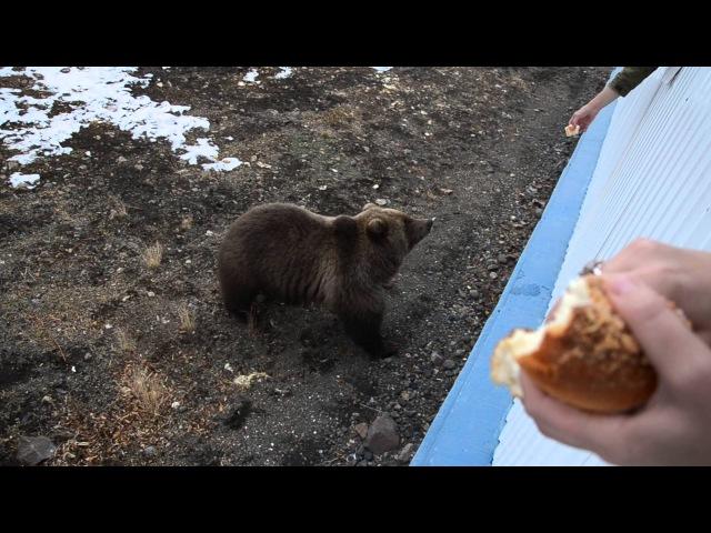 медведица пришла в гости покушать.Камчатка,Россия(bear came to visit out.Kamchatka, Russia)