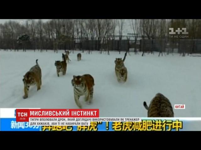 У центрі сибірських тигрів тварини проявили інстинкт та вполювали дрон