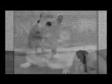 hamster vietnam