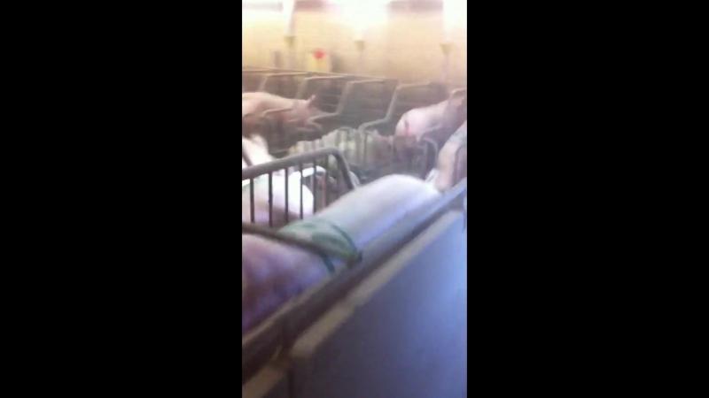 Дрессированые свиньи