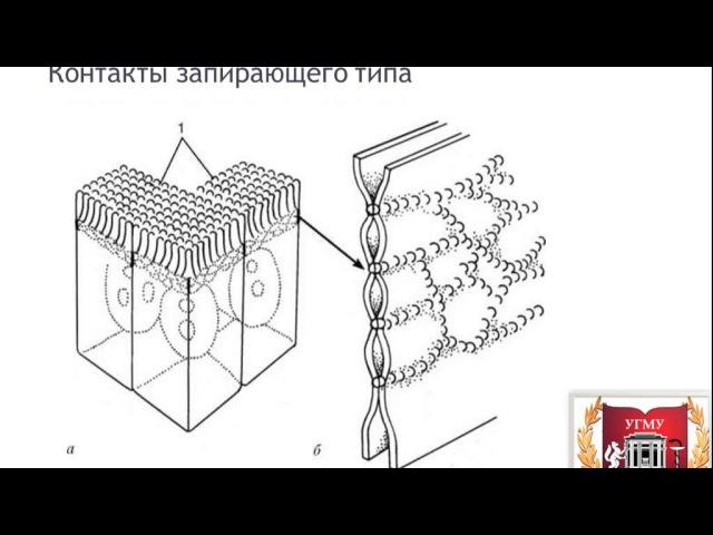 Межклеточные контакты и взаимодействия Intercellular junctions