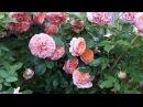 Роза Chippendale Tantau в моём саду