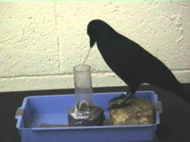 A very smart bird gets his food