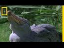 Shoebill Stork vs. Lungfish | National Geographic