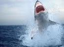 В Хургаде белая акула напала на человека Документальный фильм