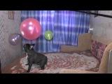 Очень смешное видео! СУПЕР МЕГА ПОЗИТИВ! Французский бульдог French bulldog funny compilation