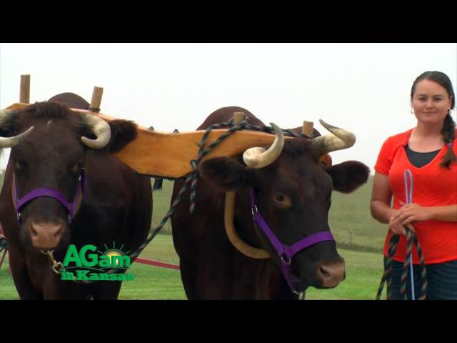 AGam in Kansas - Oxen - Sept. 24, 2015