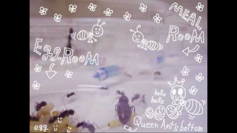 Queen Ant A chan's Egg Diary04