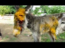 Injured baby donkey rescued; watch her mama's reaction